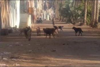 انتشار الكلاب الضالة بقرية الباشا بأولاد صقر كابوس يهدد الأهالي