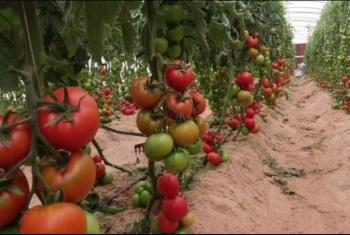 تراوحت بين 10 و15 جنيهًا.. أهالي الشرقية يشكون جنون أسعار الطماطم