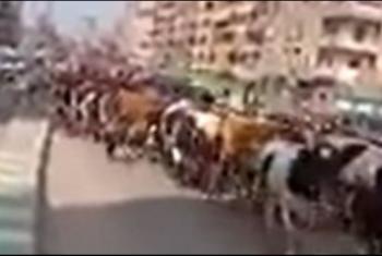 لأكثر من ساعة.. قطيع أبقار يتسبب في شلل مروري بالزقازيق